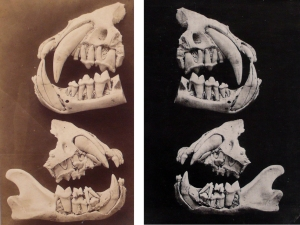 Louis Pierre Rousseau, An early pair of images of a 19-month old Lioness's jawbone, 1853,